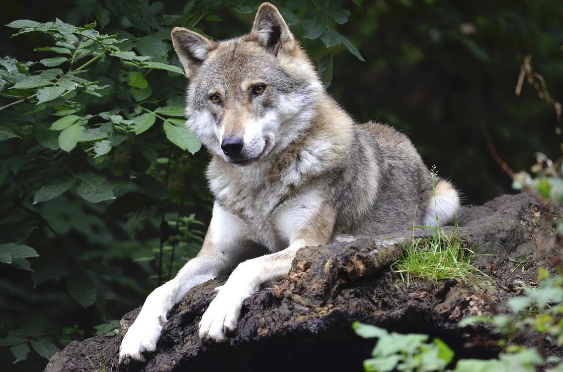 Niewiarygodnie Mysłajek: Wilki to nie pupile, dokarmiane... KD13